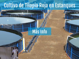 Cultivo de tilapia roja en estanques for Como cultivar tilapia en estanques