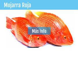 Compramos su producci n de tilapia mojarra for Proyecto de piscicultura mojarra roja